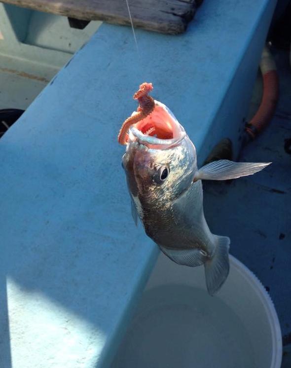 イシモチ釣れました