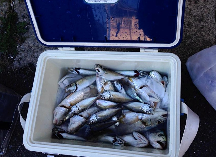 この日の釣果。アジとイシモチが大漁です。
