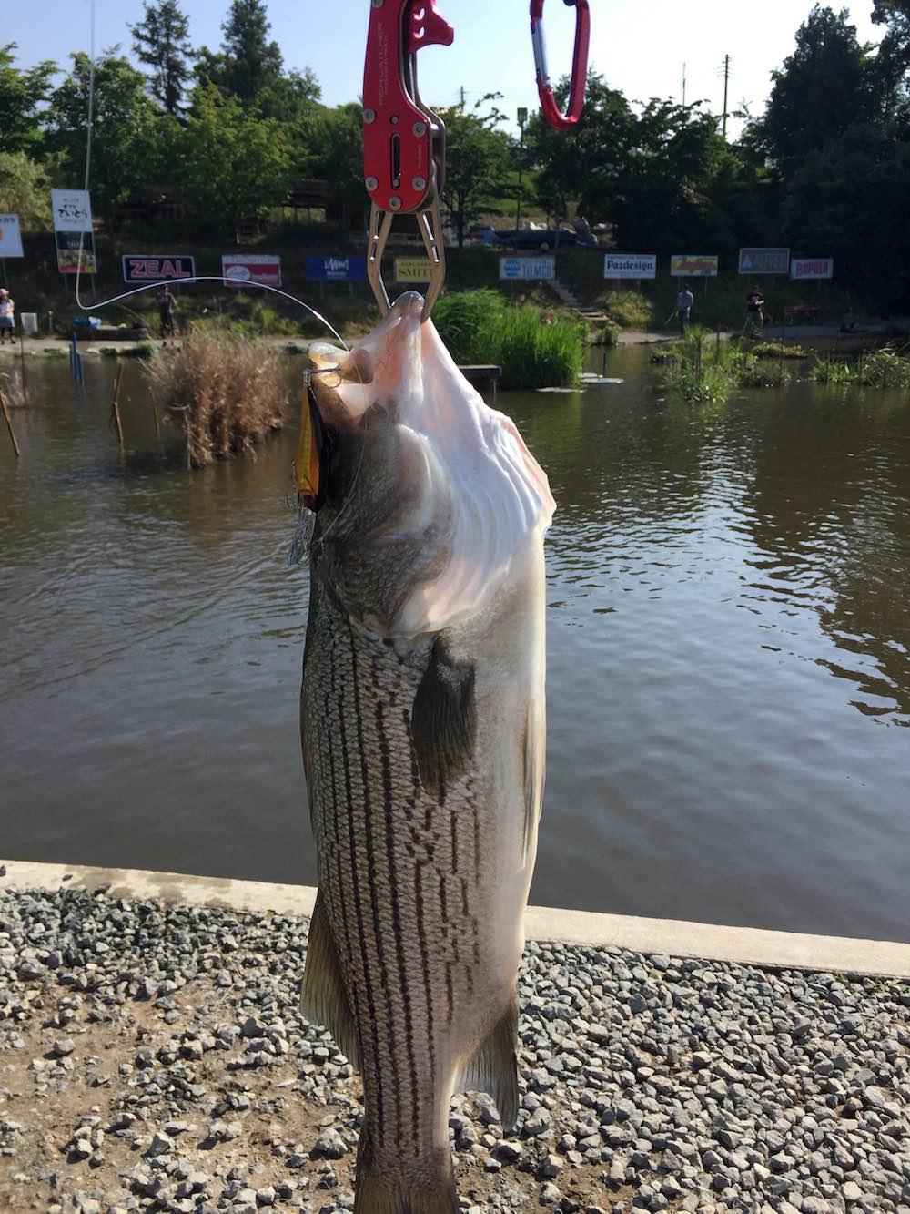 管釣りで釣ったストライパー