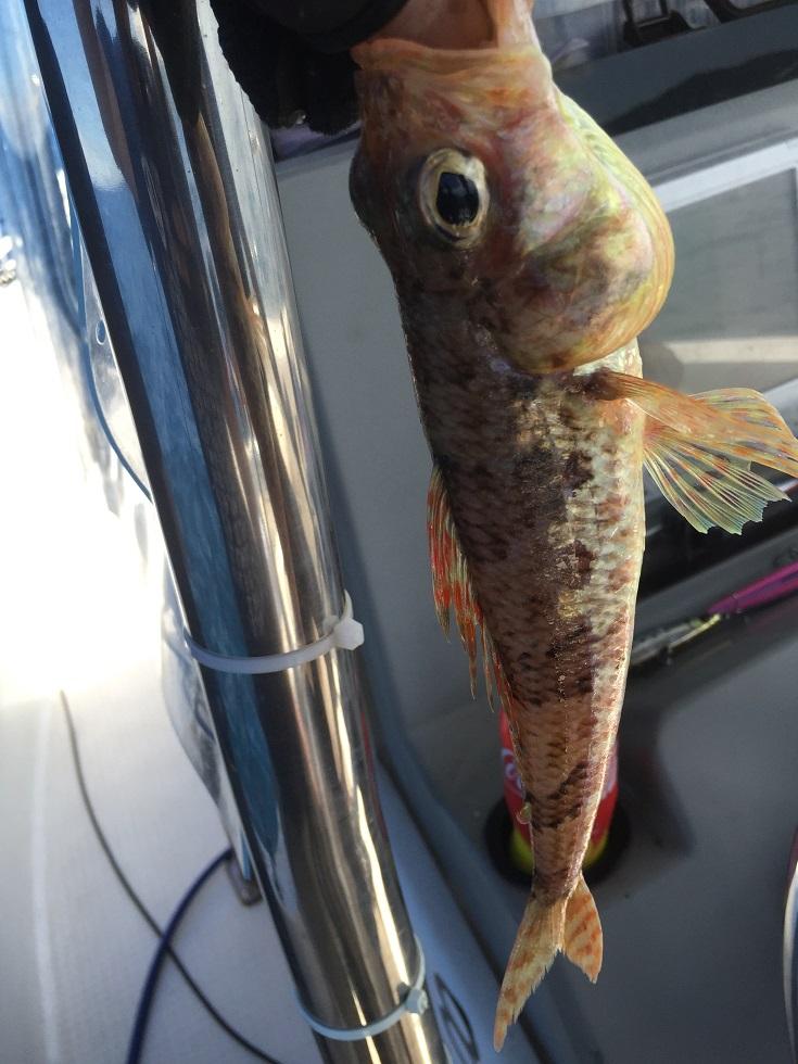 東京湾の底で釣れた魚